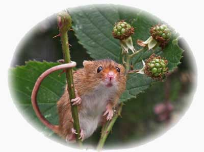image of harvest mouse