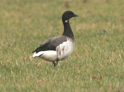 image of Brent Goose