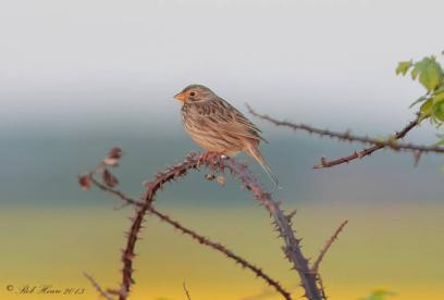 image of Corn Bunting