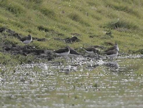 image of Green Sandpipers