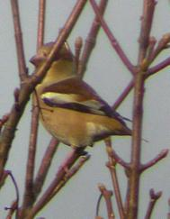 image of Hawfinch