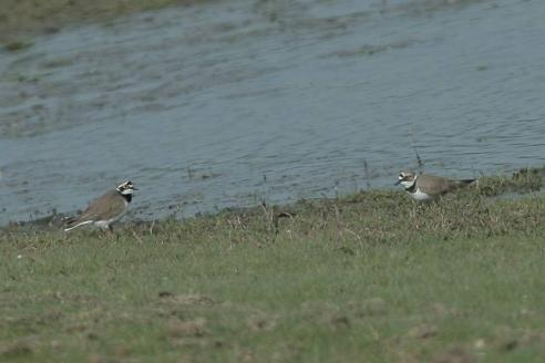 image of Little-ringed Plovers