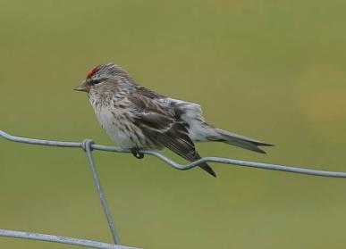 image of Mealy Redpoll