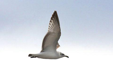 image of Meditteranean Gull
