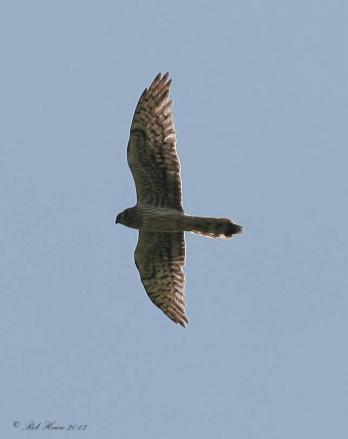 image of Montagu's Harrier