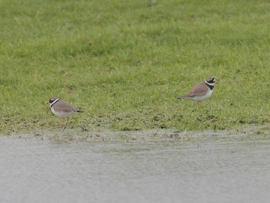 image of Ringed Plovers