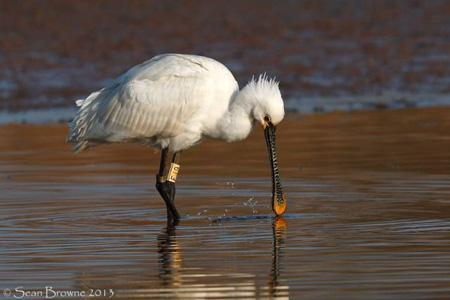 image of Spoonbill