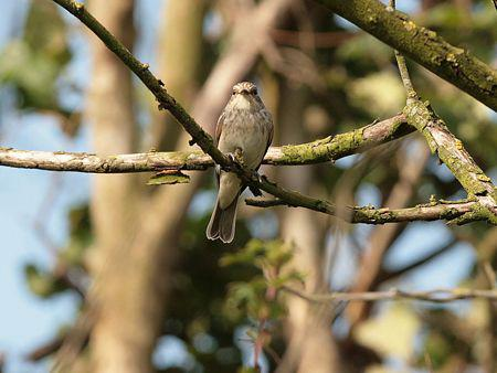 image of Spotted Flycatcher