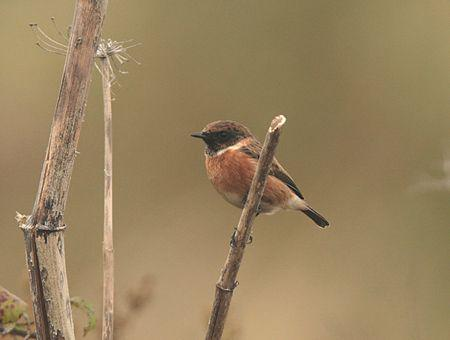 image of Stonechat