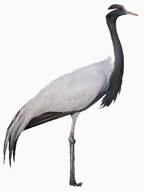 image of demoiselle crane