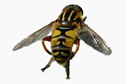 image of hoverfly