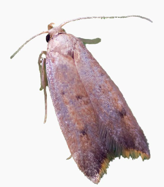 image of micro moth