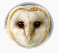 image of Barn Owl