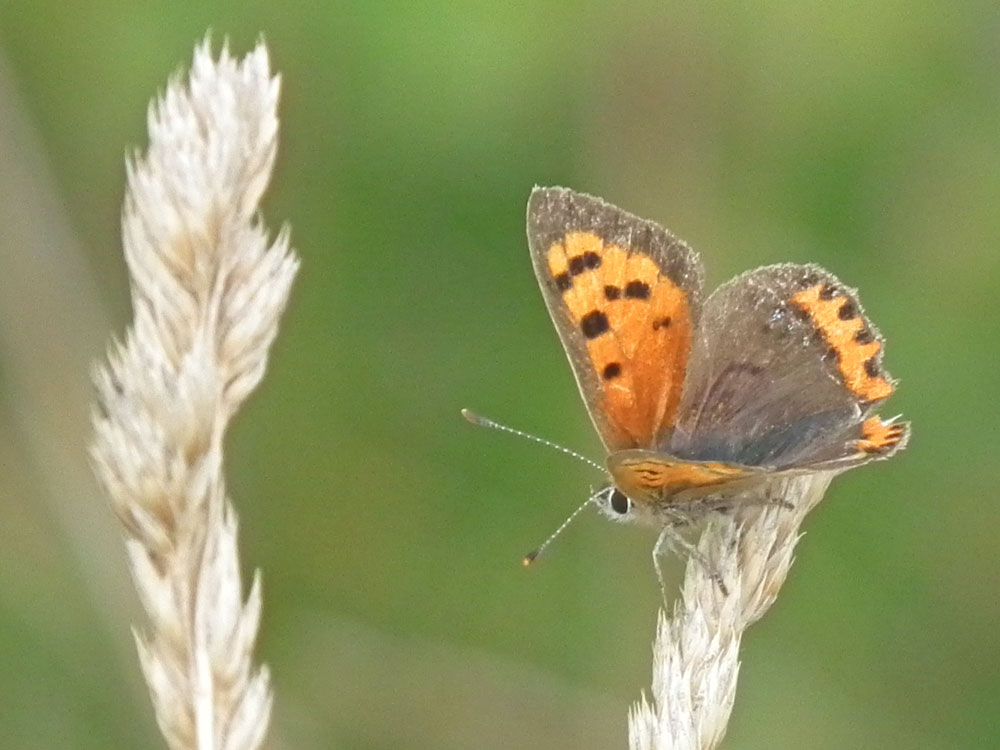 Photo of Small Copper