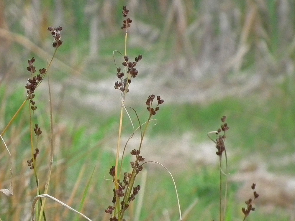 Photo of Juncus compressus