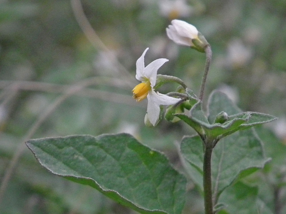 Photo of Black Nightshade