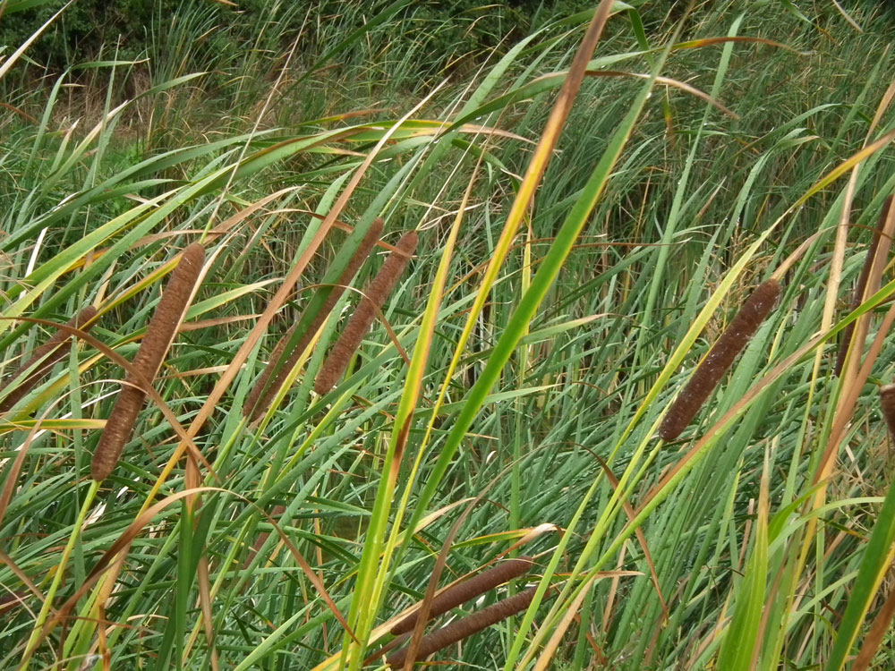 Photo of Lesser Bulrush