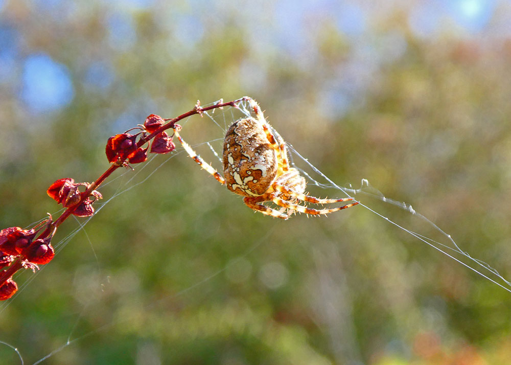 Photo of Garden Spider