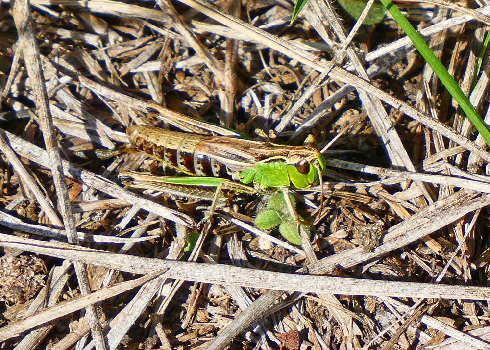 Photo of Meadow Grasshopper