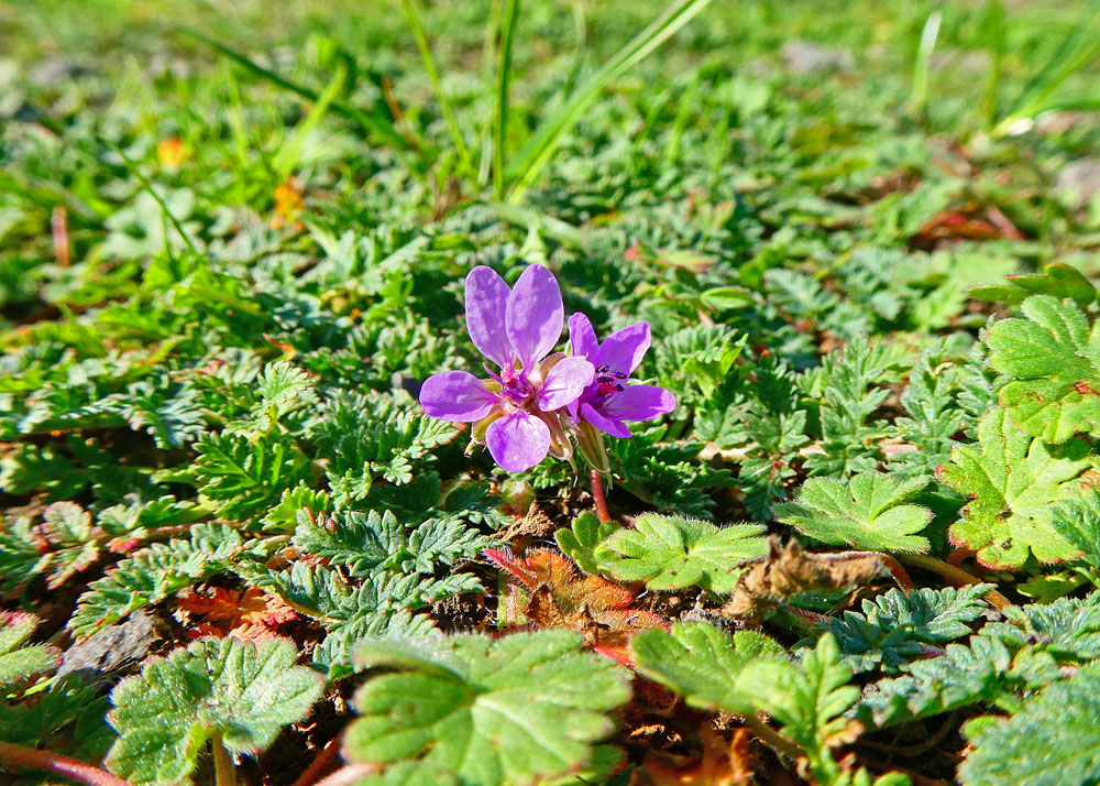 Photo of Common Storksbill