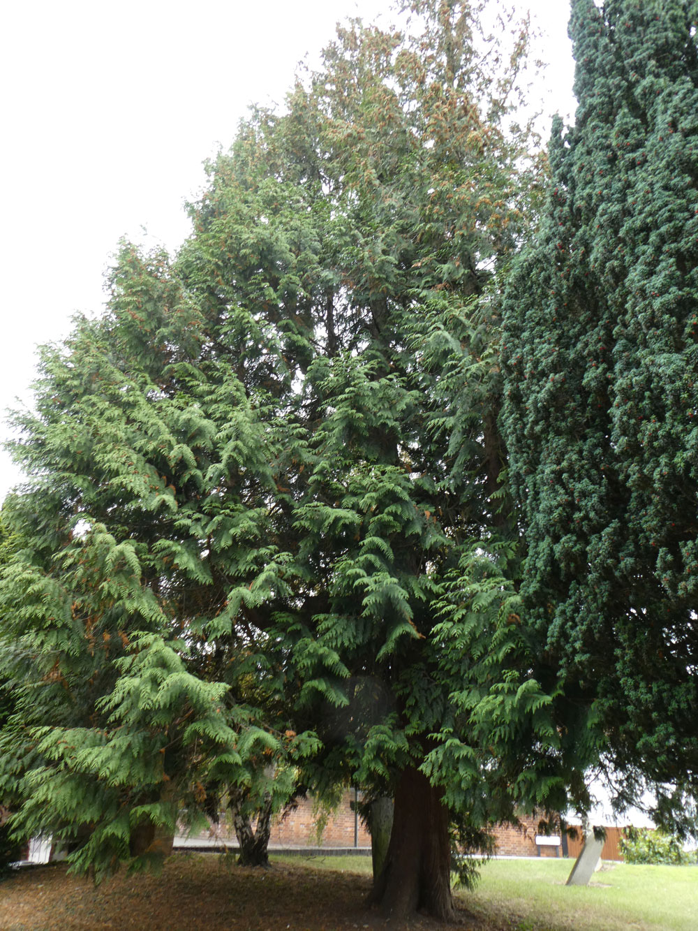 Photo of Western Red-cedar