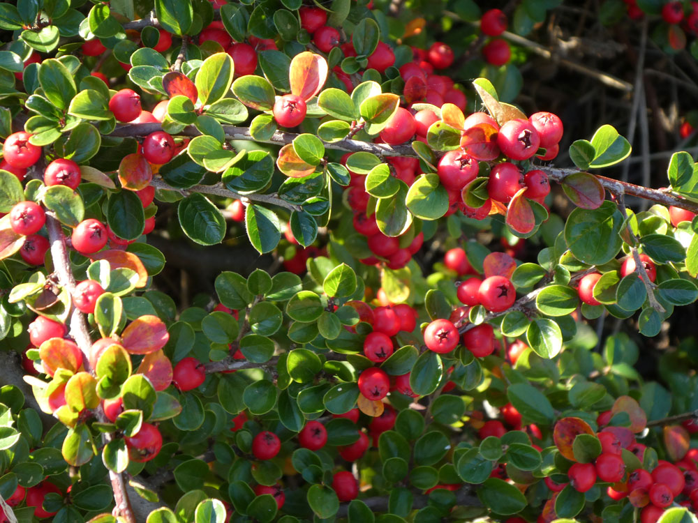 Photo of Cotoneaster hjelmqvistii