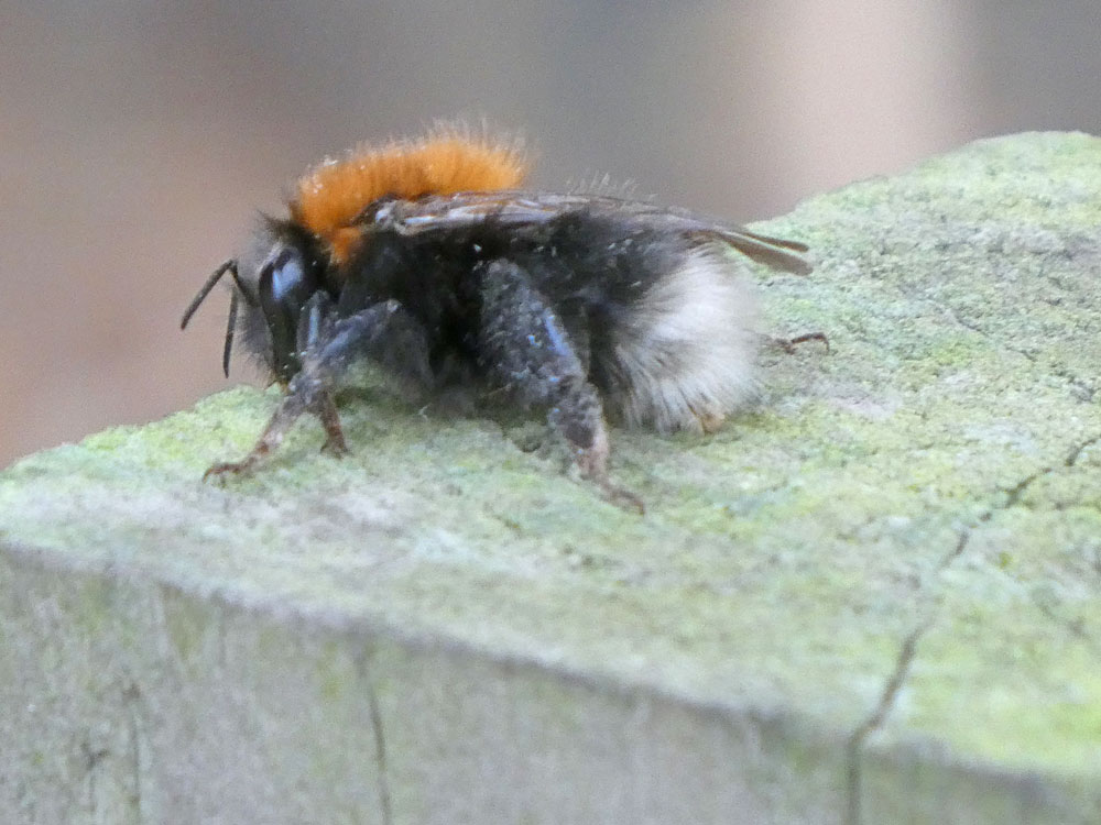 Photo of Tree Bee