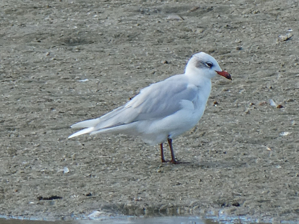 Photo of Mediterranean Gull