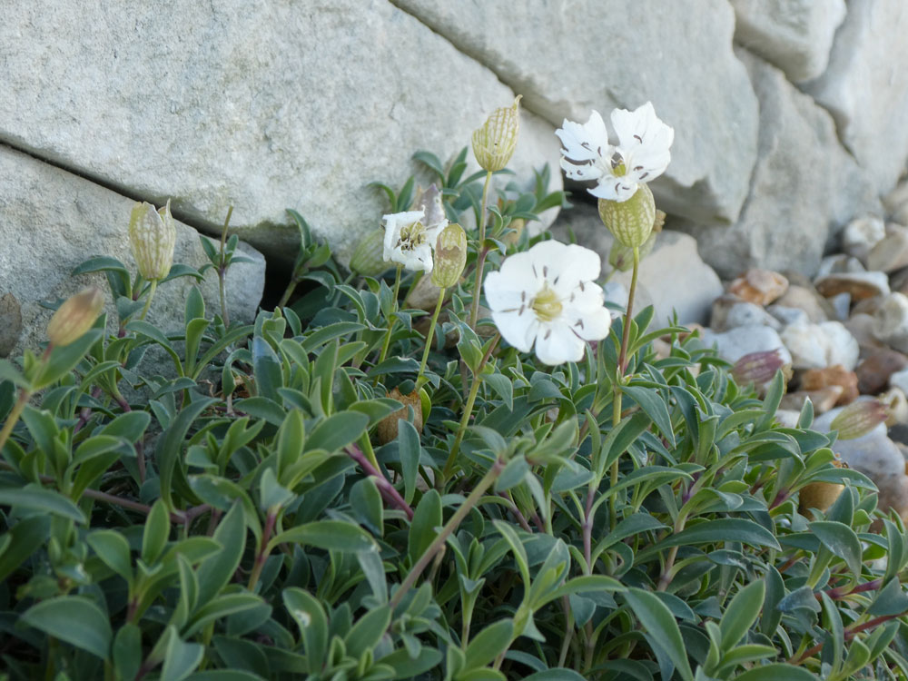 Photo of Sea Campion