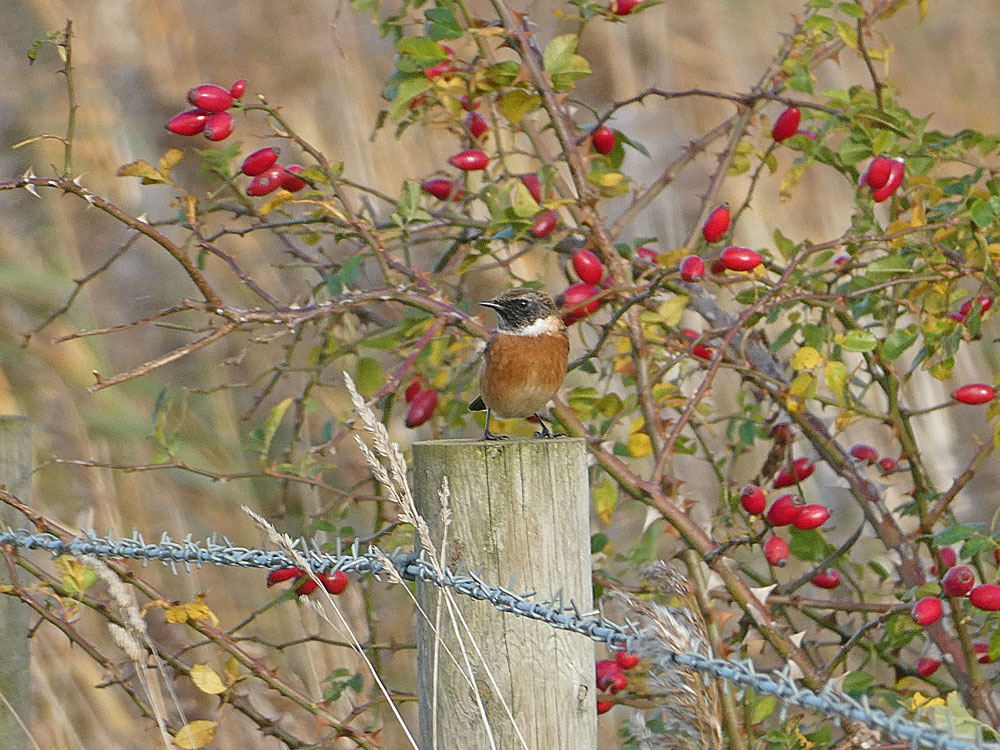 Photo of Stonechat