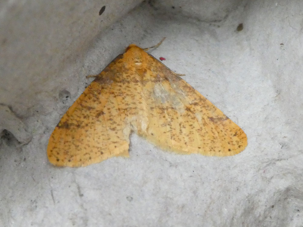 Photo of Scarce Umber