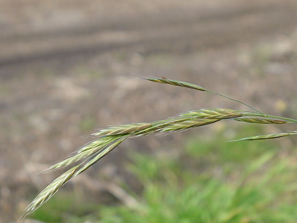 Photo of California Brome