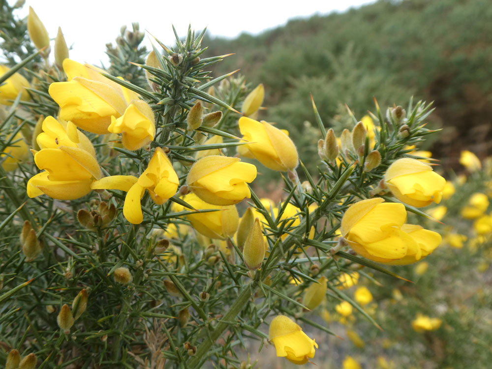 Photo of Gorse flowers