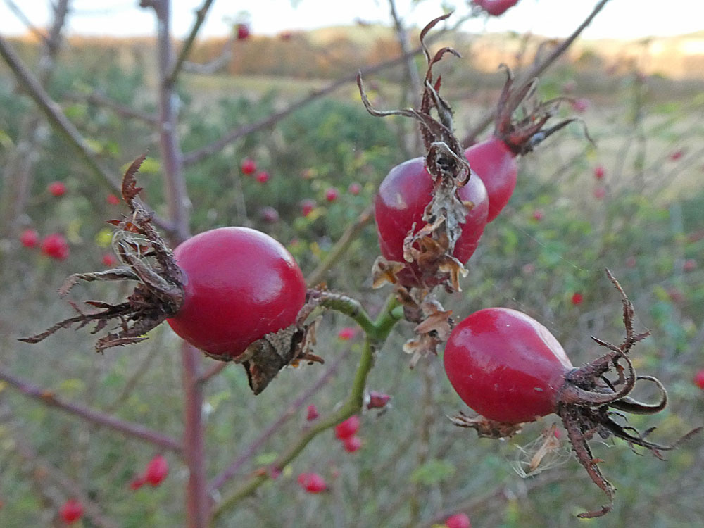 Photo of Sweet-briar - haws