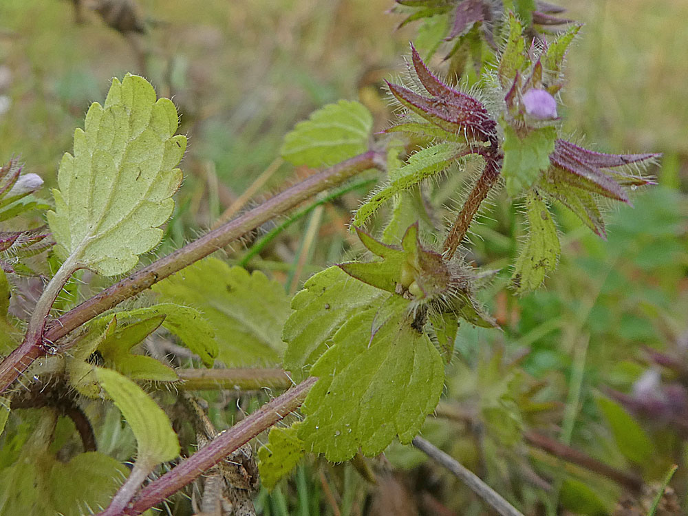 Photo of Field Woundwort
