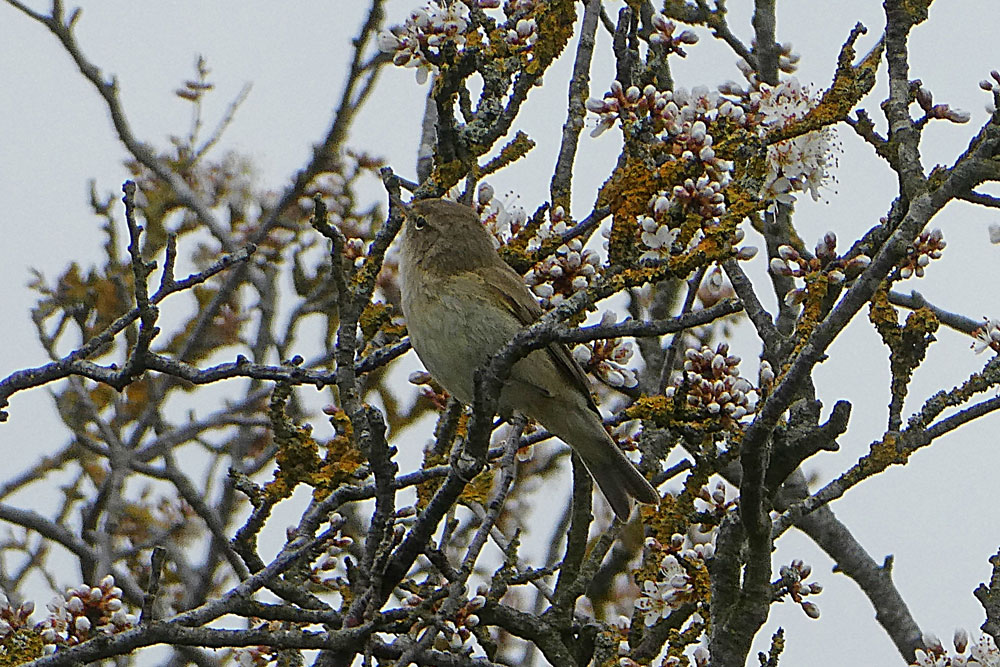 Photo of Chiffchaff