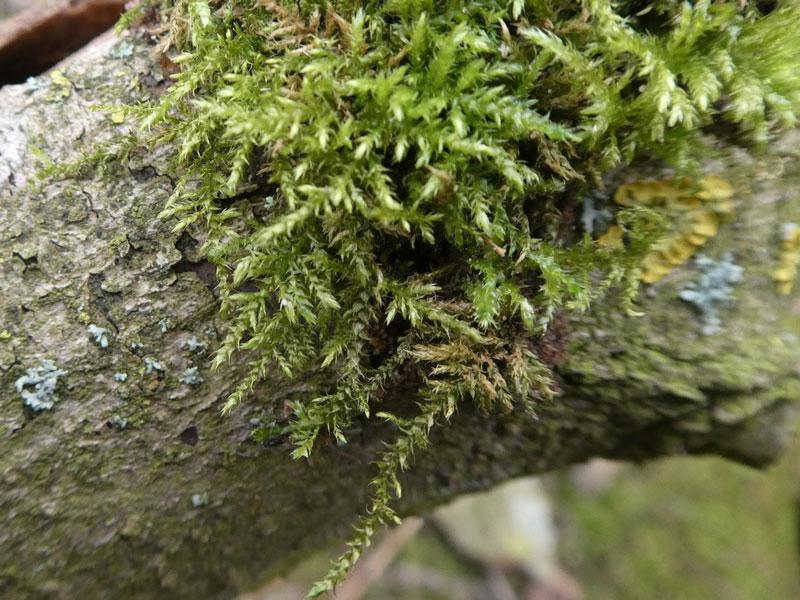 Photo of Kindbergia praelonga