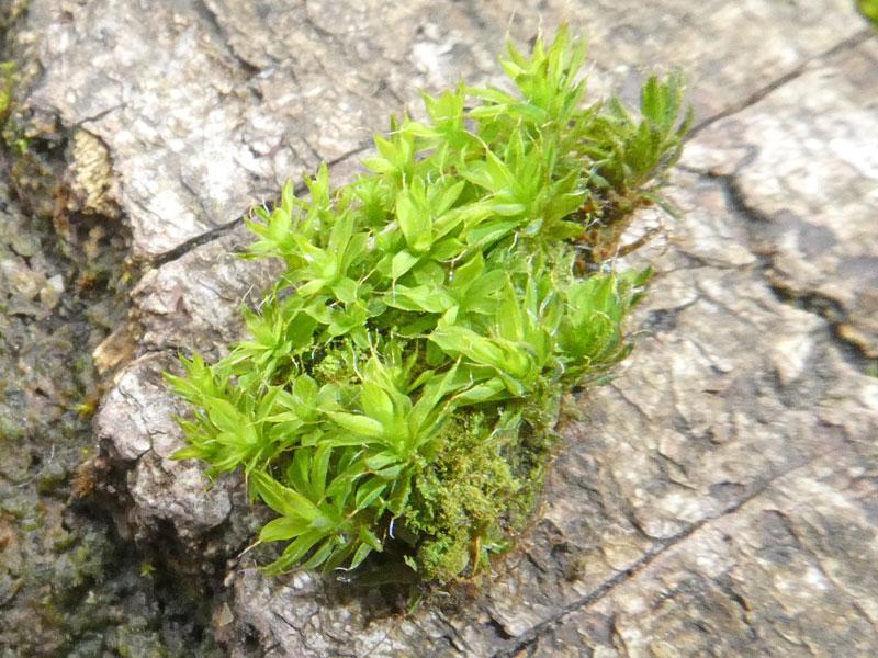 Photo of Syntrichia sp.