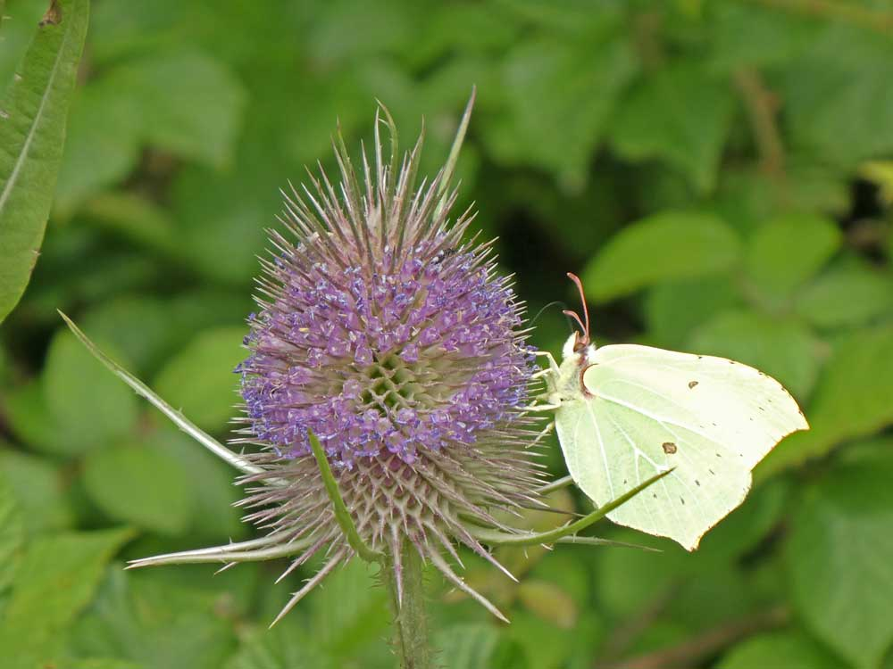 Image of Brimstone nectaring at Teasel.